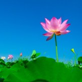 lotus-563456__340